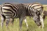 Zebra © Michael
