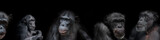 Banner of group of chimpanzees portraits isolated on black background, details, closeup