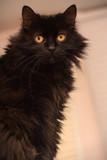 cat of the breed Chantilly Tiffany - 232181851