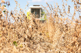 Harvesting of soybean - 232182482