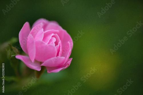 blume, pink, rosales, natur, green, frühling, garden, schön, pflanze, blühen, aufblühen, schönheit, tulpe, blume, flora, rot, makro, sommer, lotos, blütenblätter, floral, close up, liebe