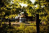 Fototapeta Horses - Horses 2 © Tomasz