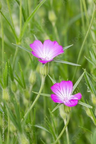 Foto Murales fleur de niel des blé