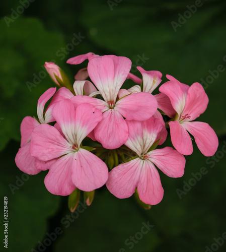 Zamknij się małe różowe kwiaty