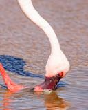 lesser flamingo head shot