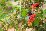 Blackberry ripe, ripening, and unripe green fruits on tree - 232196274
