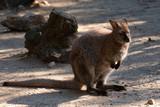 A Kangaroo at the zoo - 232205065