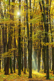 Golden autumnal forest with sunbeams - 232209235