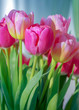 Pink tulip background texture
