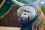 bored expression on the face of an orangutan - 232211003