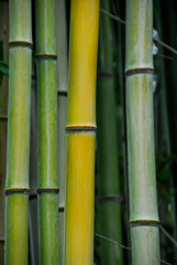 Bamboo, Kyoto, Arashiama © Sina