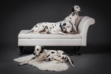 group of three dalmatian dogs in studio with gray background for photomontage