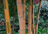 Bamboo © Sina
