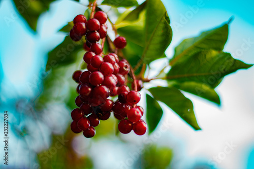 Foto Murales bird cherry