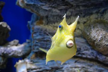 Marine reef dwellers. Horned boxfish