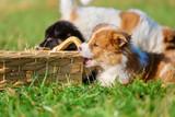 Elo puppies gnaw at a basket