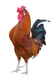 bright brown color rooster isolated on white - 232244269