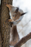 winter squirrel on brown tree - 232245419