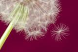 Fluffy dandelion on pink background - 232245862