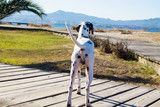 Dalmatian dog on the beach promenade