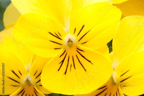 Leinwandbild Motiv Close up of a fresh bright yellow pansy (Viola Melanium)