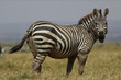 Zebra on the Masia Mara