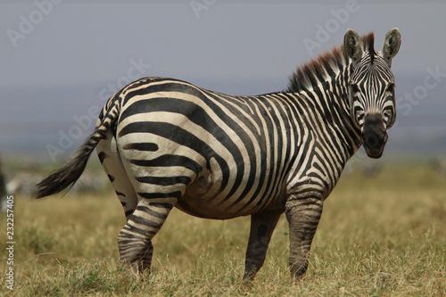 Zebra on the Masia Mara