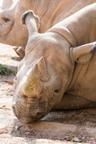 Detail of a rhinoceros head lying. - 232267048