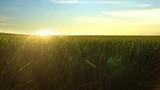 Green Grass Field At Sunset - 232269248