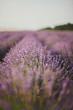 summer lavender field in bloom