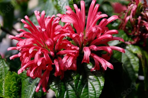 Brasilianische Justizie (Justicia carnea) Blüten