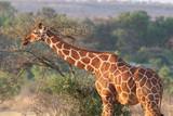 Giraffe, Kenya - 232282050