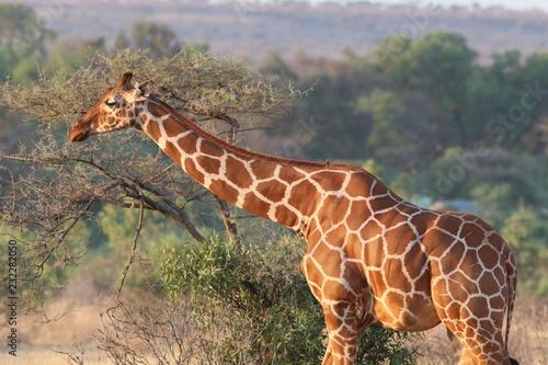 Fridge magnet Giraffe, Kenya