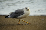 Portrait of a large sea gull on yellow sand. - 232287652
