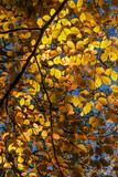 Sunlight Shining Through Golden Beech Leaves - 232295206