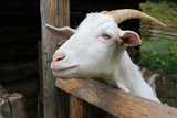 rural goat on farm - 232305428