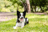 Beautiful young Border Collie lying in the grass with trees in the background - 232305820