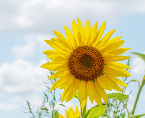 Beautiful sunflowers in the field natural background, Sunflower blooming.