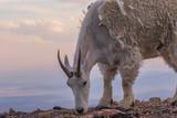 Mountain Goat in Summer - 232312892