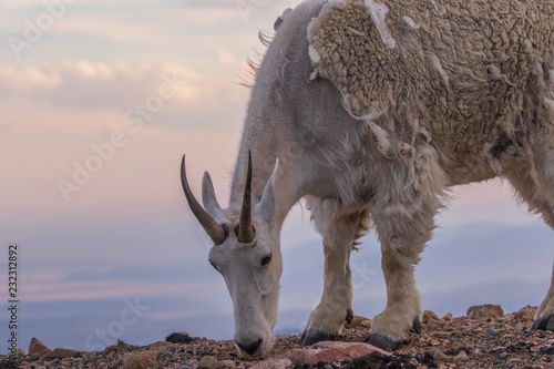 Mountain Goat in Summer