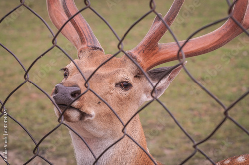 Wall mural Deer on the farm