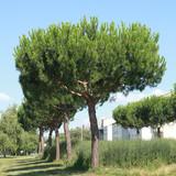 Pinus pinea - 232319831