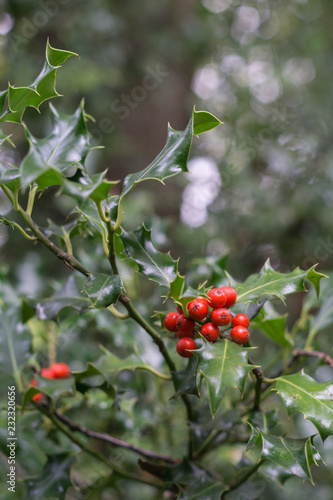 Foto Murales Holly leaves and red berries