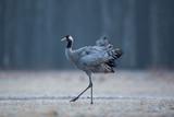 Birds -Common crane (Grus grus)