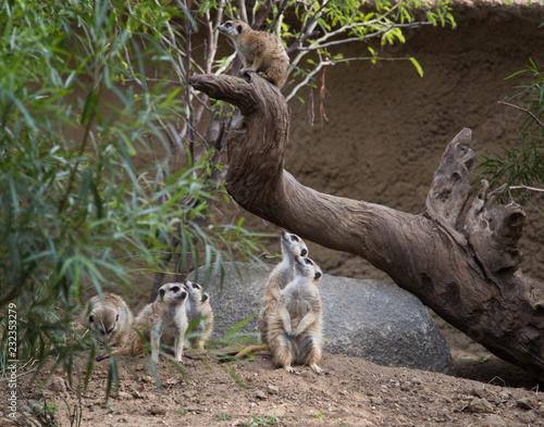 Obraz na płótnie Meerkats on guard