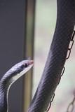 Black racer snake. - 232355226