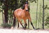 Potro - cavalo quarto de milha - 232359456