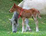 Mother and baby horse (mare and foal) grazing on the meadow - 232359661