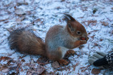winter forest. squirrel eats nuts - 232361885