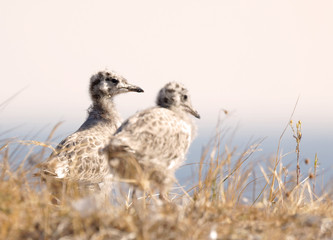 Closeup of two cute Seagull chick bird in the grass (latin: Laridae), the sea in the background